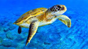 How Long Does Life expectancy of a Turtle End?